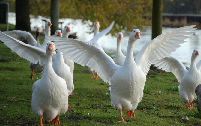 Chattanooga Airport Officials Bring In Outside Aid For Advice On Geese Problem