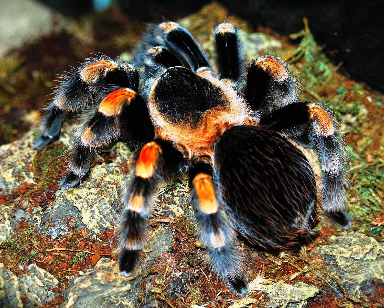 Паук тарантул фото и картинки